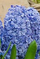 Hyacinth Blue Tango flowers