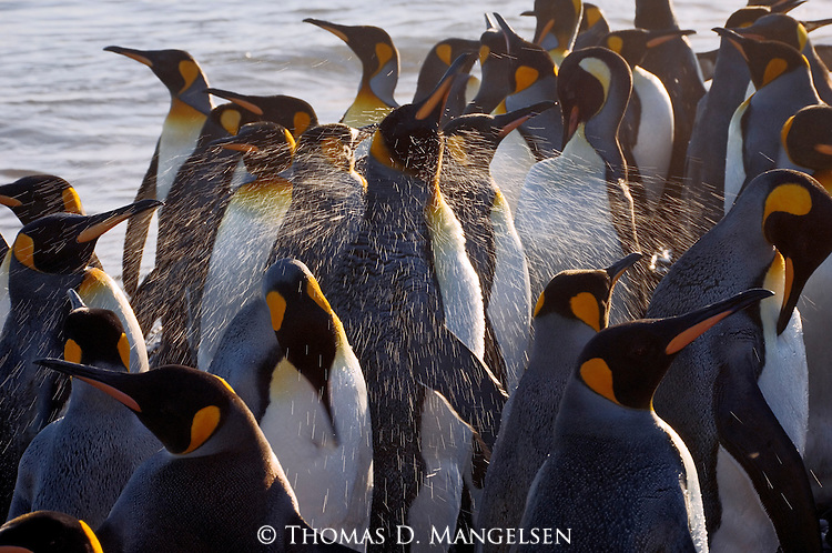 A king penguin shakes off in St. Andrews Bay, South Georgia Island, after leaving the ocean.