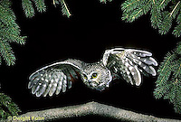 OW07-063z   Saw-whet owl - flying - Aegolius acadicus