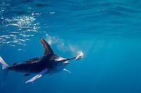 striped marlin, Kajikia audax (formerly Kajikia audax), with sardine impaled on bill while feeding on baitball of sardines or South American pilchards, Sardinops sagax, off Baja California, Mexico, Pacific Ocean