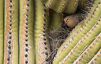 A Mourning Dove, Zenaida macroura, nests in a Saguaro cactus, Carnegiea gigantea, in the Desert Botanical Garden, Phoenix, Arizona