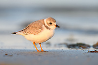 Piping Plover (Charadrius melodus) in basic plumage. Bunche Beach Preserve, Florida. March.