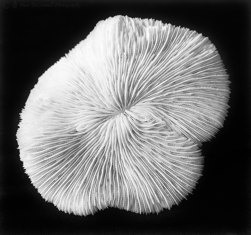 Still life of a coral.<br /> <br /> 4x5 Large Format Film