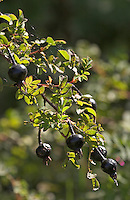 Bibernell-Rose, Bibernell - Rose, Dünen-Rose, mit Früchten, Hagebutten, Rosa spinoissima, syn. Rosa pimpinellifolia, Burnet Rose, Scotch Rose, Rosier à feuilles de pimprenelle, Rosier d´Ecosse