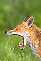 Portrait of yawning Red Fox {Vulpes vulpes}, captive, UK.