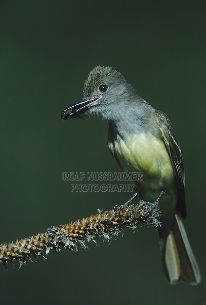 Great-crested Flycatcher, Myiarchus crinitus , adult with horse fly prey, Raleigh, Wake County, North Carolina, USA