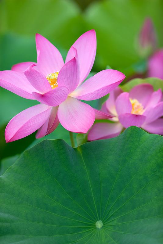 Close up of Lotus blossom. Hughes Water Gardens, Oregon