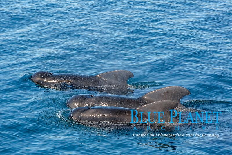 Short-finned pilot whales, Globicephala macrorhynchus, surfacing off Isla San Marcos, Baja California, Mexico