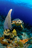 hawksbill sea turtle, Eretmochelys imbricata, Bloody Bay Wall, Little Cayman, Caribbean, Atlantic