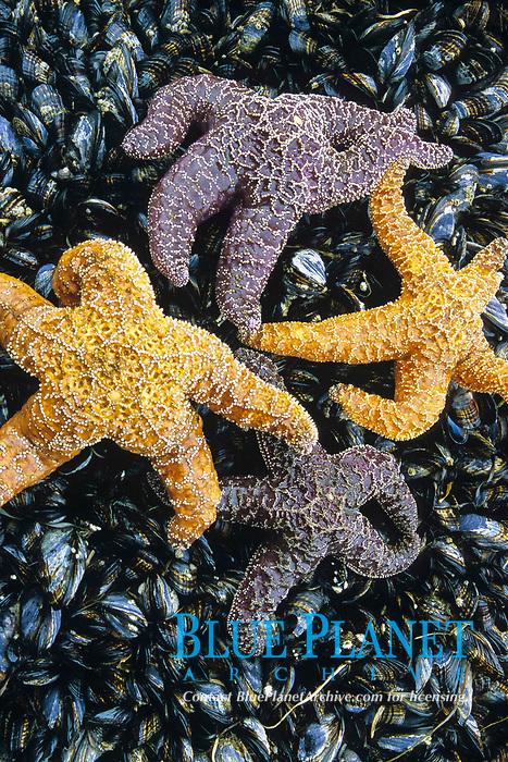 Tidepool starfish, Pisaster ochraceous, mussels, Mytilus californianus, Shi Shi beach, Olympic National Park, Olympic Peninsula, Washington, USA, Pacific Ocean