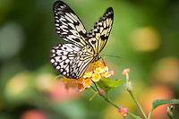 Paper Kite butterfly (Idea leuconoe). Victoria Butterfly Gardens, Victoria, B.C. Canada