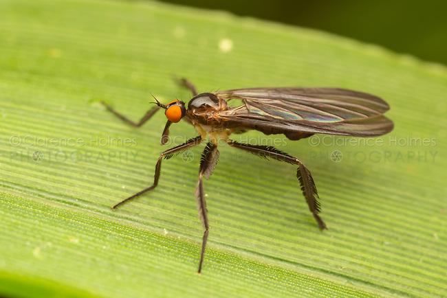 Long-tailed Dance Fly (Rhamphomyia longicauda) - Female