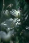 San Juan Islands; wildflowers; Chickweed, Cerastium arvense, fly resting, Yellow Island, Nature Conservancy Preserve; Washington State, Pacific Northwest, U.S.A.,.