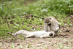 Pictured: All well - the monkey was just being groomed.<br /> <br /> A monkey appears to give CPR to another member of its troop.  The vervet monkey looks like it is giving mouth to mouth resuscitation to the stricken female.<br /> <br /> However, he is in fact just taking advantage of an opportunity to groom the monkey while she is lying down.  Wildlife photographer William Steel took the photographs in the Gaborone Game Reserve in Botswana.  SEE OUR COPY FOR DETAILS.<br /> <br /> Please byline: William Steel/Solent News<br /> <br /> © William Steel/Solent News & Photo Agency<br /> UK +44 (0) 2380 458800