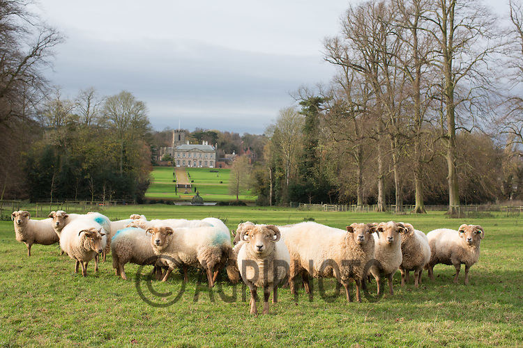 Portland sheep <br /> Picture Tim Scrivener 07850 303986<br /> tim@agriphoto.com<br /> ….covering agriculture in the UK….