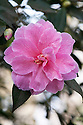 Camellia x williamsii 'Donation' (japonica x saluenensis), mid March.