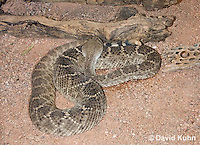 0516-1101  Western Diamondback Rattlesnake, Texas Diamond-back, Crotalus atrox  © David Kuhn/Dwight Kuhn Photography
