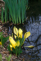 Lysichiton americanus, Native American Skunk Cabbage in bloom next to water