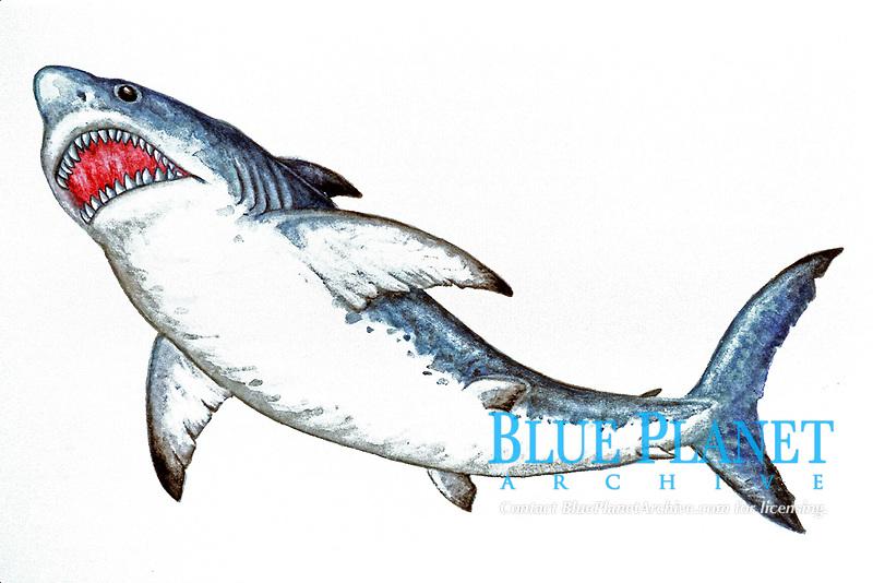 illustration, megalodon, Carcharocles megalodon, an extinct species of shark, world wide distribution, size 15 cm, Miocene and Pliocene, 25-5 MYA