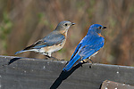 Male eastern bluebird standing on an enamel cooking pot