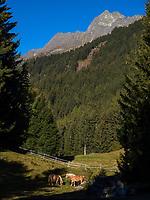 Haflinger Pferd,  Leiter Alm, Algund bei Meran, Region Südtirol-Bolzano, Italien, Europa<br /> Haflinger horse, Leiter Alm, Lagundo near Merano, Region South Tyrol-Bolzano, Italy, Europe