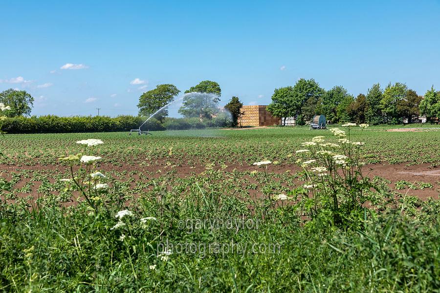 Irrigating potatoes with a rain gun - Lincolnshire, May
