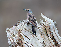 A female Northern flicker perches on driftwood at Boundary Bay.