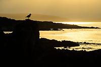 Eurasian Oystercatcher (Haematopus ostralegus) on the coast of the Varanger Peninsula. Norway. June.