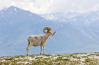 Dall sheep ram with full curl on a mountain ridge in Denali National Park, Interior, Alaska.