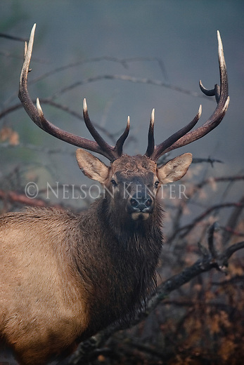 Bull elk on a foggy morning in Montana