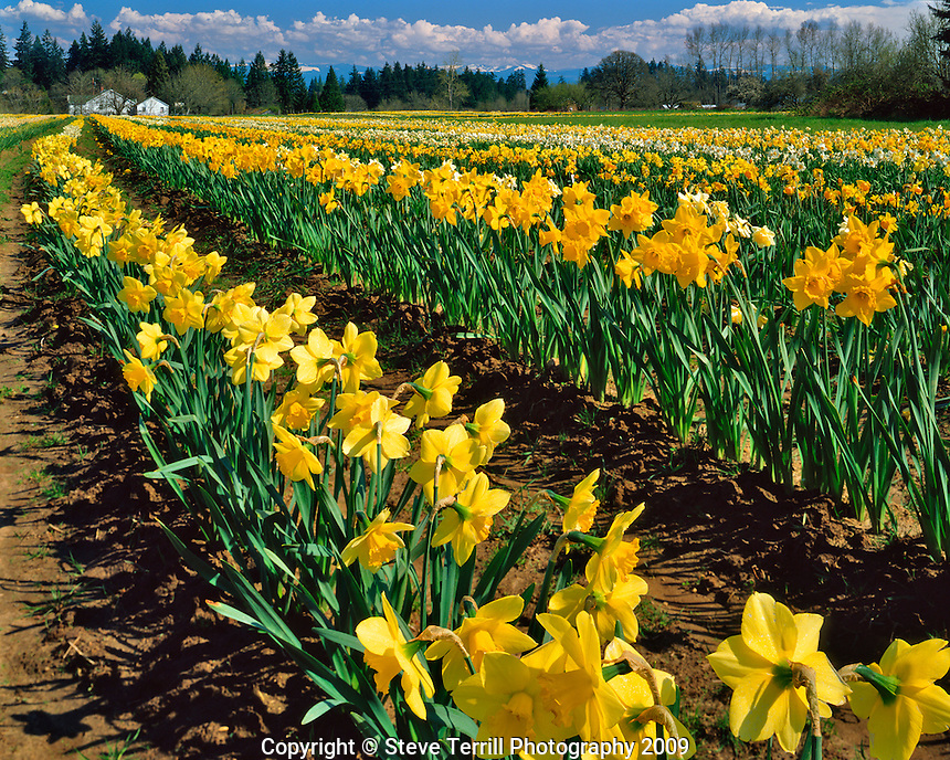 Rows of daffodils near Hubbard, Oregon