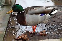 In a cold winter snowing day, a male wild duck (Anas Platyrhyncos), with its impressive colored feathering (Paris, 2010). <br /> <br /> In un freddo giorno invernale di neve, un maschio di germano reale, con il suo appariscente piumaggio (Parigi, 2010).