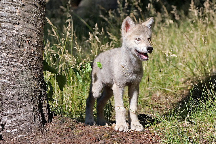 Young Timber Wolf standing beside a tree - CA