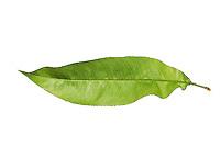 Pfirsich, Pfirsichbaum, Obst, Obstbaum, Prunus persica var. persica, Peach, Le Pêcher,  Pêcher commun. Blatt, Blätter, leaf, leaves