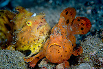 Painted Frogfish mated pair, Antennarius pictus, -male darker orange defending female, macro and supermacro images, marine life