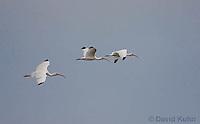 0111-0991  Flock of Flying White Ibises, Eudocimus albus  © David Kuhn/Dwight Kuhn Photography.