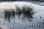 Grass puctuates flooded dunes along Grayland Beach, Washington.  Grayland Beach Stae Park.