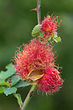Robin's Pincushion Gall caused by Gall wasp {Diplolepis rosae} on wild Dog Rose {Rosa canina}, Peak District National Park, Derbyshire, UK. September.