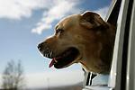 Salt Lake City, UT --3/28/08--.Dog in car.