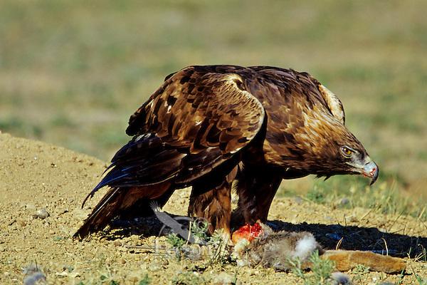 Golden Eagle (Aquila chrysaetos) feeding on jackrabbit , Western U.S.