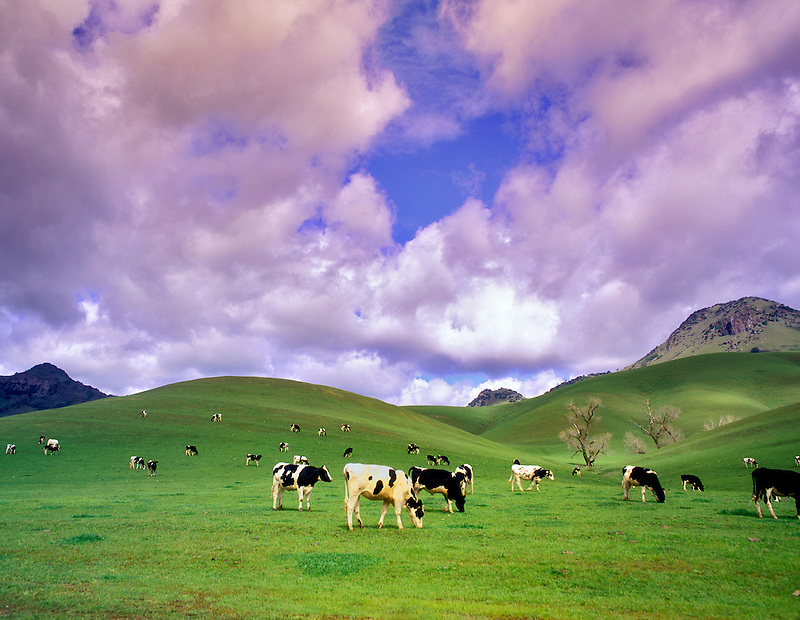 Two Holstein cows looking over their shoulders. Sutter butte, California