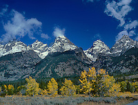 749450287 aspens populous tremuloides and cottonwood trees ablaze in yellow fall color stand at the base of the teton range in grand tetons national park in wyoming