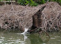 0308-0883  Diving Brown Pelican, Pelecanus occidentalis © David Kuhn/Dwight Kuhn Photography