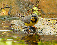 Adult male Canada warbler at pool at Paradise Pond in April