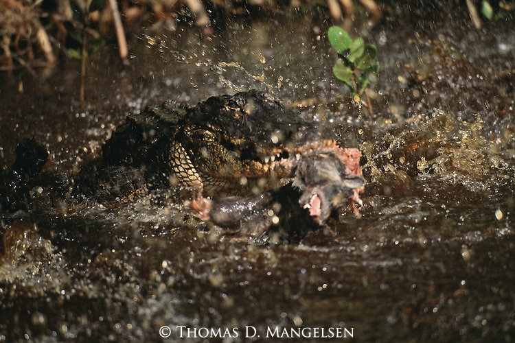 A hunting alligator charges through water after its prey in Everglades National Park, Florida.