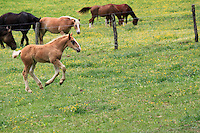 Stock photo of pony running around as a group of beautiful horses graze around a fence on a prairie in Cades cove valley, the Great Smoky Mountains national park, America.