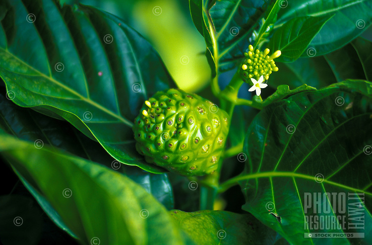 Close up of a Hawaiian medicinal noni fruit used for numerous ailments of the body
