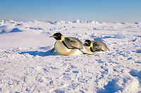 emperor penguin, Aptenodytes forsteri, toboganning, Cape Washington, Antarctica