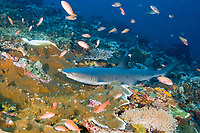 Whitetip reef shark, Triaenodon obesus, Komodo Island, Komodo National Park, East Nusa Tenggara, Indonesia