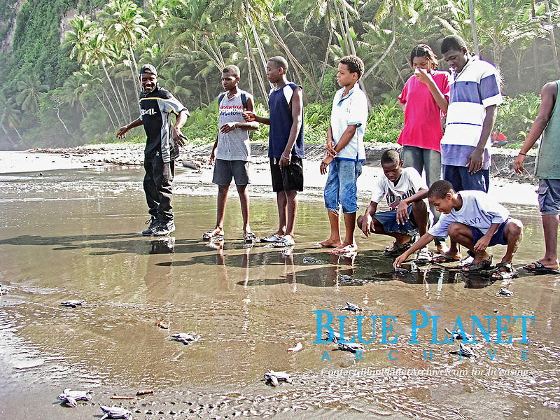 local people help in conservation efforts for leatherback sea turtle hatchlings, Dermochelys coriacea, Dominica, Caribbean, Atlantic